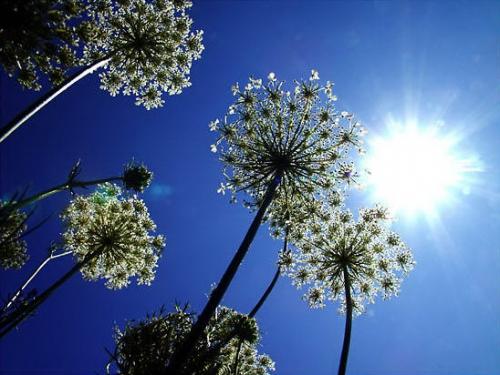 fleurs_soleil_1.jpg