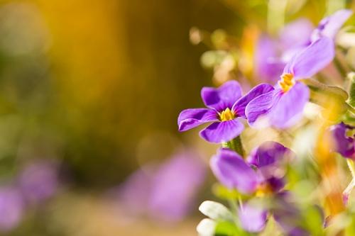 fleurs_violettes_1a.jpg