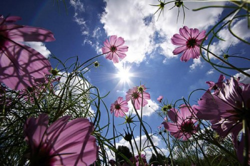 fleurs_soleil_a.jpg