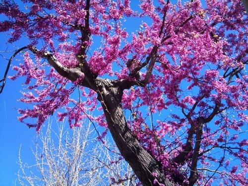arbre-en-fleurs-3a.jpg