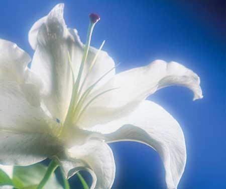 lys_blanc_8.jpg