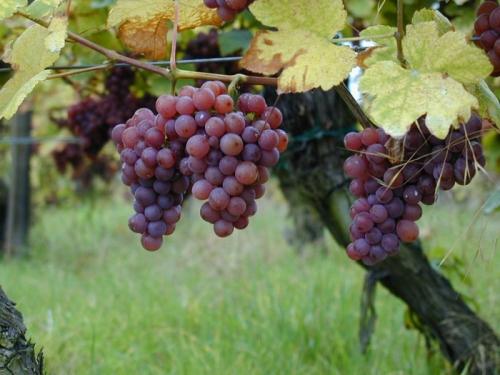 grappe_raisins_1.jpg