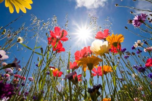 fleurs_soleil_2a.jpg