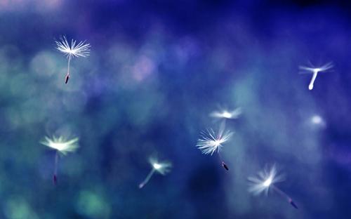 dandelion_flowers_1a.jpg