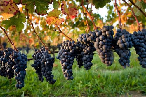 vigne-raisin-rouge.jpg