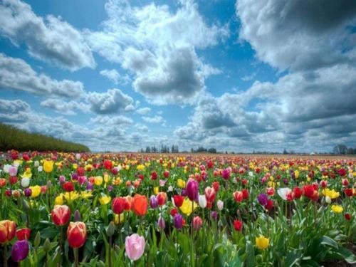 champ_tulipes_1a.jpg